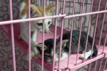 Kittens in the Animal Clinic on Koh Tao Thailand