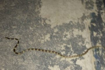 Snake in cinema on _Koh Tao Thailand