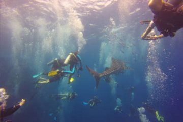 Whale shark Mania on Koh Tao Thailand