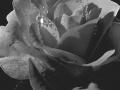 Roos 01